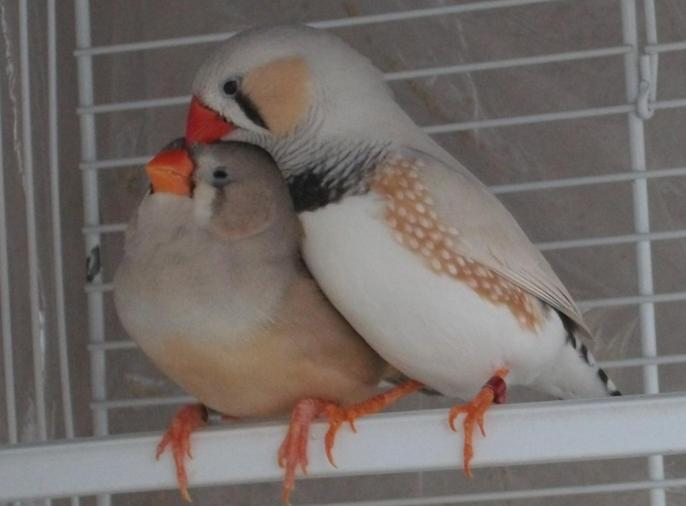 male masqué et femelle brune