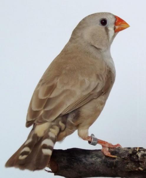 femelle brune /poitrine noire 2011
