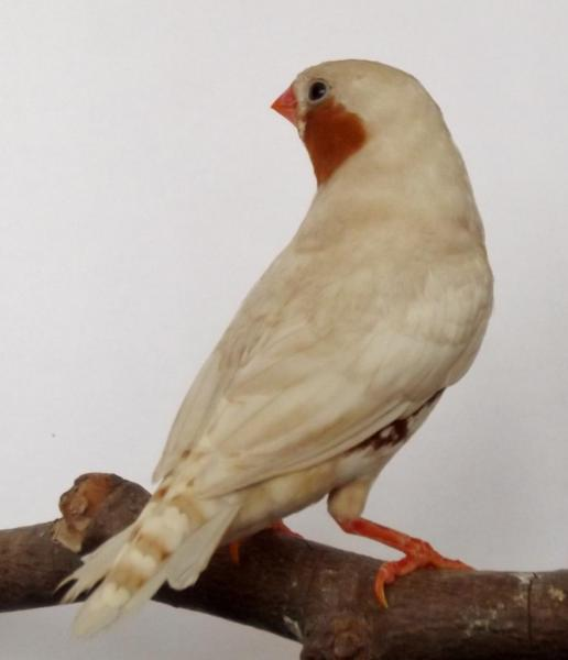 mâle Isabelle Brun Poitrine Orange /Poitrine Noire 2012