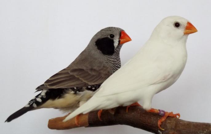 mâle joues noires 2013 et femelle blanche 2009