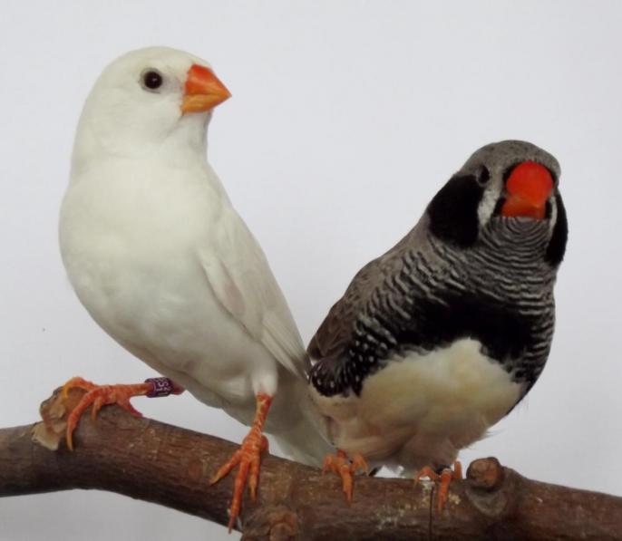 femelle blanche 2009 et mâle joues noires 2013