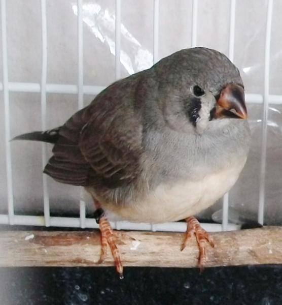 femelle grise /JN à 6 semaines