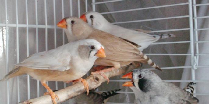 4 femelles (de g à d : joues grises, brune, masquée et joues noires)