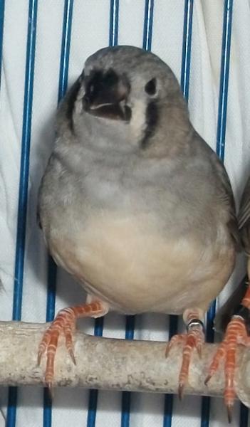 femelle grise /joues noires