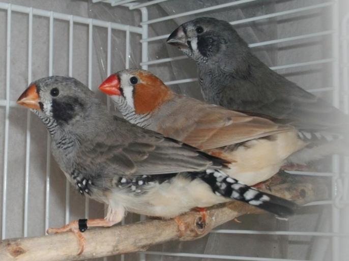 1 mâle brun /M /PN et 2 mâles joues noires
