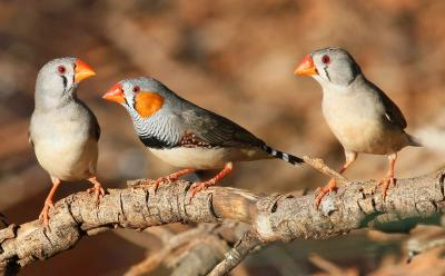 Zebra finch 2014 03 04 0746 kintore rd 35 kms from papunya nt